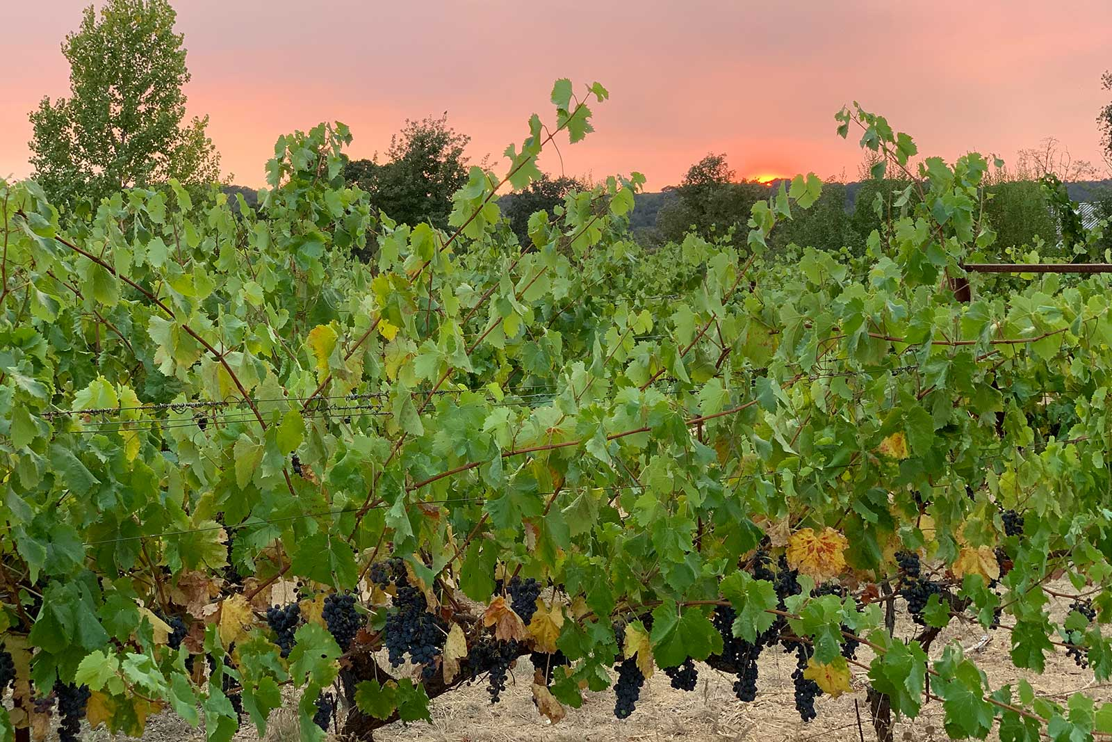 Embracing sustainability carries over to Matthiasson's approach in the vineyard, which was put to the test in 2020 by the worst fire season in California history. ©Steve Matthiasson