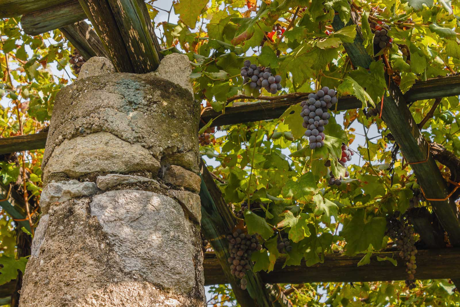 Because of the trellising, Nebbiolo in Carema ripens under a shade canopy. Stock photo.
