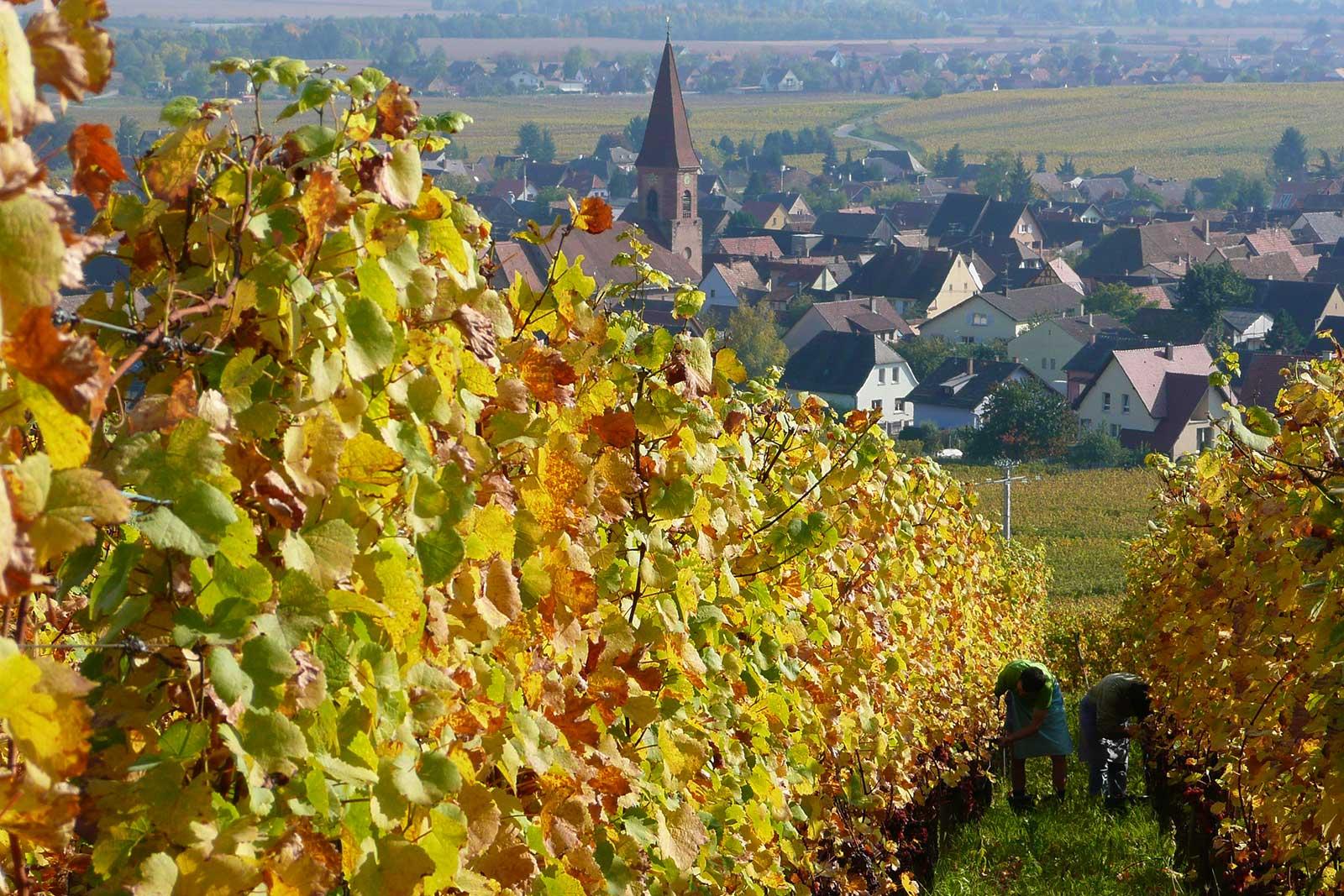 A view of Wettolsheim as harvest gets underway in the Grand Cru Hengst. ©Barmès-Buecher