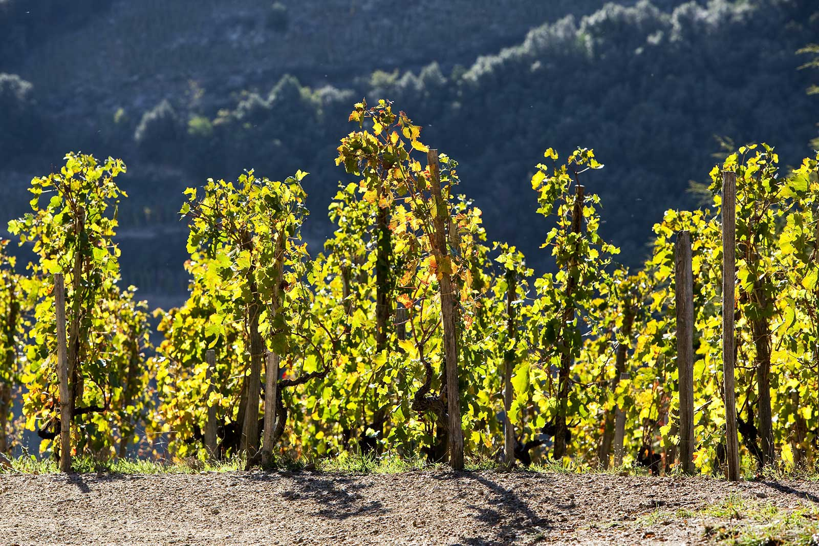 Vines trained on echalas are a common site throughout Cornas. (Stock photo).