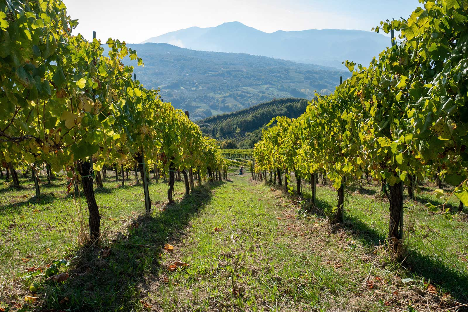 A low perspective of a vineyard in the heart of Campania, Italy. Stock photo.