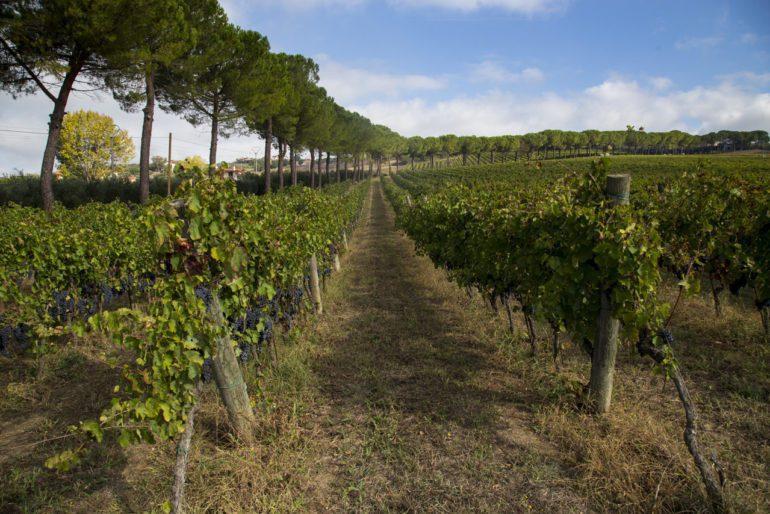 A vineyard at Monserrato 1973 in the Sannio province. ©Monserrato 1973